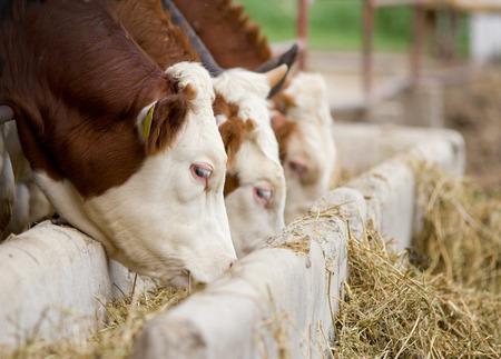 Bulls eten van luzerne hooi van de kribbe op de boerderij