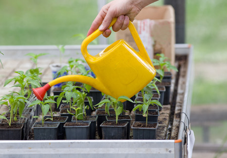 greenhouse and ecology: Close up of womans hand watering plants in greenhouse Stock Photo