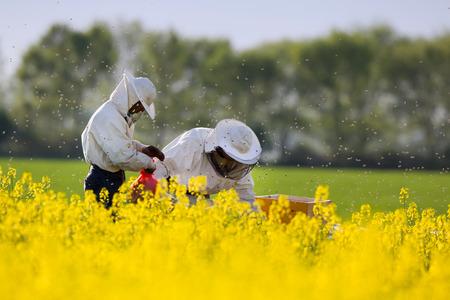 Apiarists working in rapeseed field in springtime