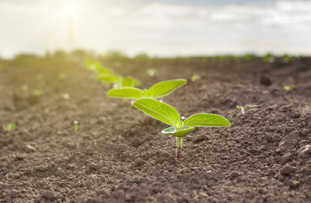 semillas de girasol: Cierre de brotes de girasol que crece de suelo seco