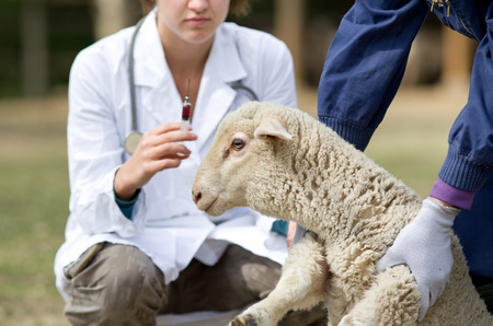 Afraid lamb in workers hands waiting for vaccination Stock Photo