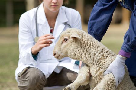 ovejas: Cordero Miedo en manos de los trabajadores a la espera de la vacunación Foto de archivo