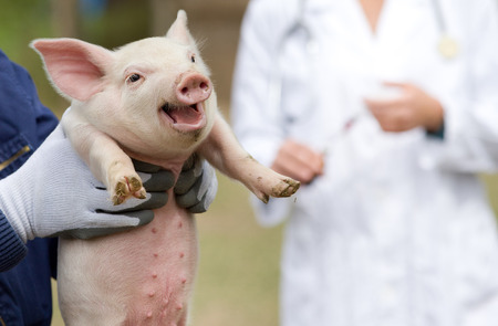 Cute piglet portrait in workers hands