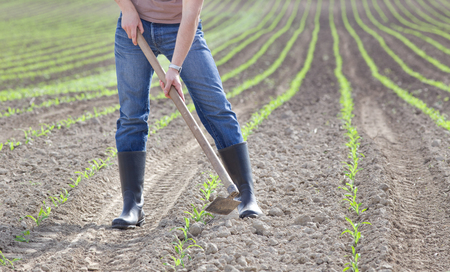 hoeing: Close up of farmers hands hoeing corn field in spring