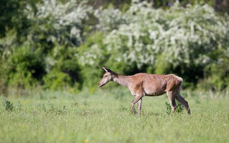 hind: Pregnant red deer hind walking on meadow in front of forest in spring time Stock Photo
