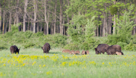 piglets: Herd of wild boars with cute piglets walking on meadow with spring flowers