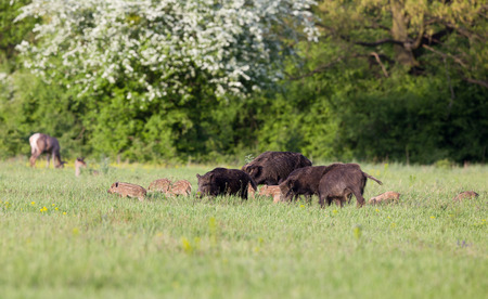 mother and baby deer: Herd of wild boars with cute piglets walking on meadow with spring flowers, red deer hinds in  Stock Photo
