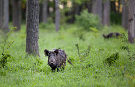 Wild boar standing in high grass in forest and looking at camera Archivio Fotografico