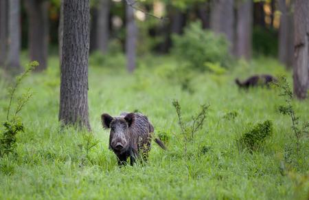 Wilde zwijnen staande in hoog gras in het bos en kijken naar de camera