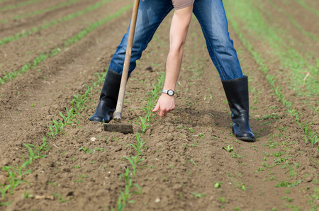 hoeing: Close up of farmers hands weeding and hoeing corn field in spring
