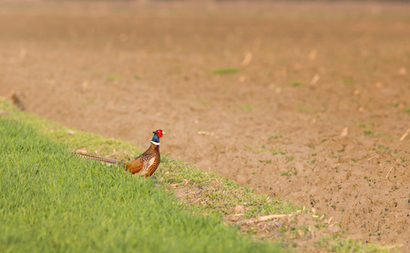 Pheasant standing on field on cloudy spring day