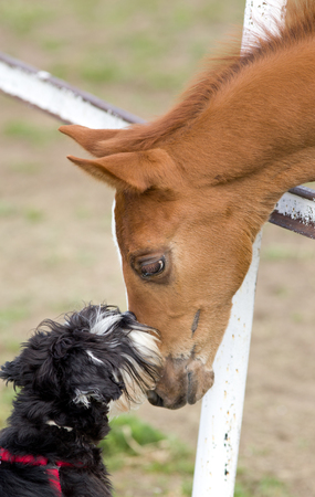 gentleness: Tender image of miniature schnauzer kissing foal on ranch