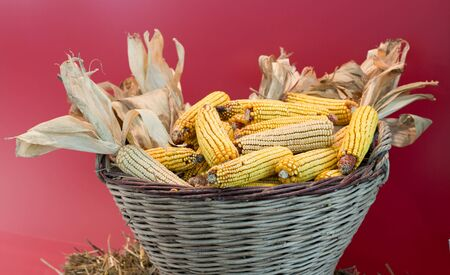 husks: Knitted basket full of corn cobs with husks on red wall
