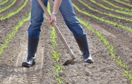 春のトウモロコシ畑をホアイング農家の手のクローズ アップ