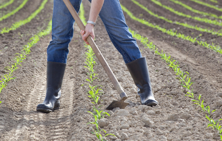 Close up of farmer's hands hoeing corn field in spring