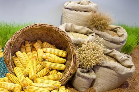 agricultura: Surtido de los productos agrícolas, la mazorca de maíz en la cesta, los cereales en sacos y el cultivo de trigo en el fondo