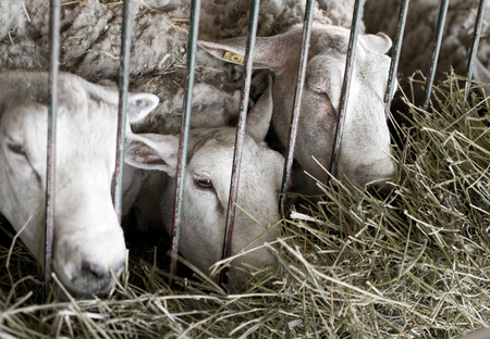 fenced in: Conceptual image od three sheep closed behind bars Stock Photo