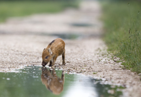 scrofa: Baby wild boar drinking water from the pond