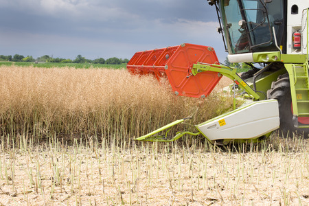 yielding: Close up of combine harvester cutting rapeseed plants in the field