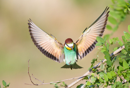 spread wings: Beeeater with spread wings landing on acacia branch