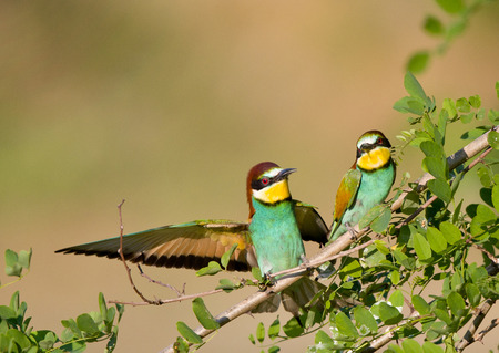 courting: Male bird beeeater courting to female bird