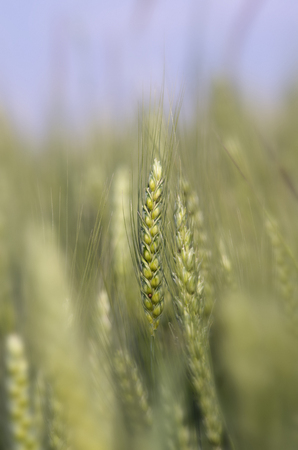 afield: Close up of green wheat ears on stalk in springtime