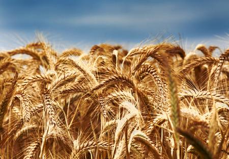 afield: Close up of golden barley ears on stalk in summer time