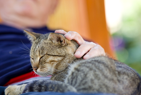 purring: Tabby cat enjoying cuddling in old mans lap