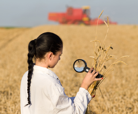 agronomist: Young woman agronomist lokking at wheat ears with magnifier, combine harvester in background