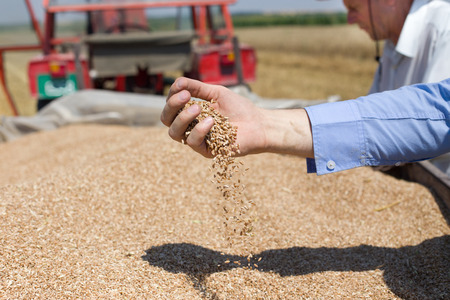 Close up of human hand pouring wheat grain in trailer after harvest in the field Foto de archivo