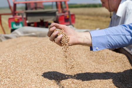 Close up de la main humaine versant grain de blé dans la remorque après la récolte dans le domaine Banque d'images