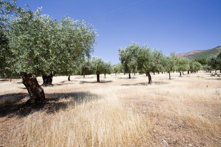 olive groves: Olive groves at hilly area on Thassos, Greece