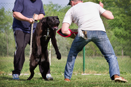 cane corso: Dog training class, Cane Corso breed. Dog preparing to attack the sleeve of trainer Stock Photo