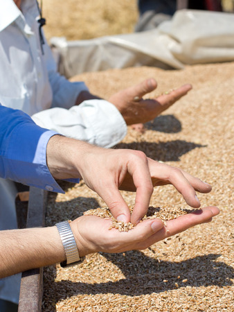 with harvest: Close up of human hands checking wheat grain in trailer after harvest in the field Stock Photo