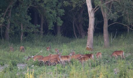 hind: Herd of red deer and hind walking in the forest in summer time