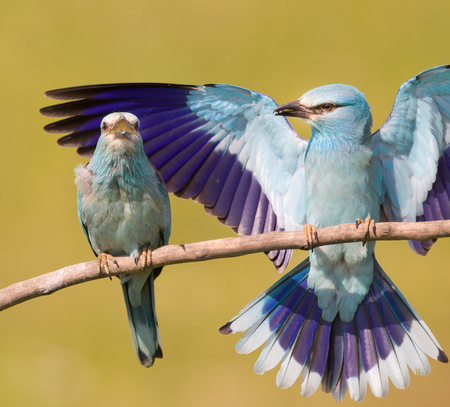 courting: Breasted rollers couple (Coracias garrulus) standing on branch while male courting to female bird