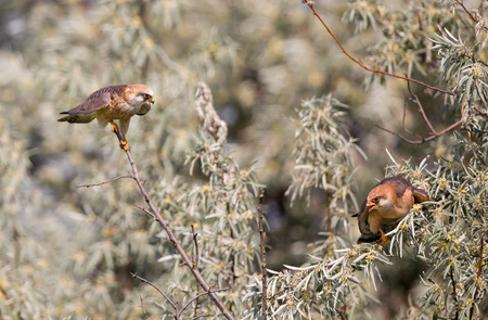 courting: Male Kestrel courting female bird on branches of tree Stock Photo
