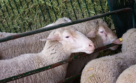 fenced in: Sheep in the pen, fenced with metal rods
