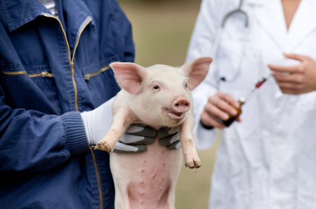 Cute piglet in workers hands, veterinarian with injection in background