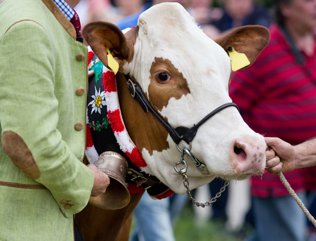 halter: Close up of Simmental cow at livestock exhibition