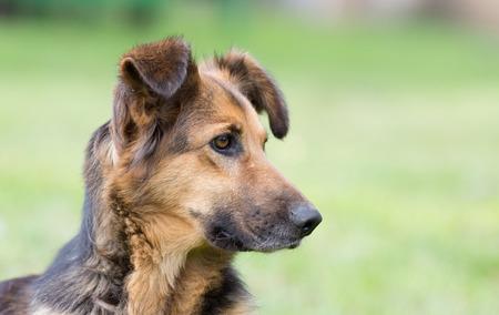 watchdog: Portrait of a cute mixed breed watchdog in green field