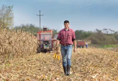 young farmer: Young farmer walking on field during harvest and holding corn cobs