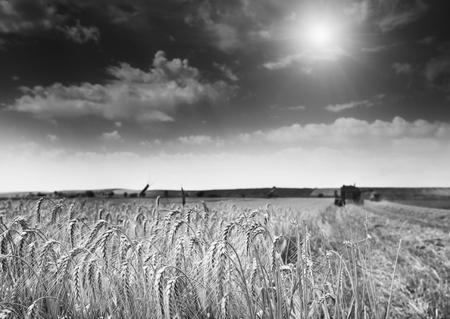 cosechadora: Campo de cebada madura. Paisaje rural con combinar trabajo cosechadora en el fondo