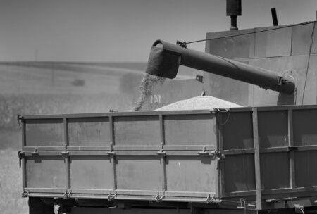 cosechadora: Cierre de granos de ma�z que caen del tambor combinar cosechadora en el remolque del tractor en el campo Foto de archivo