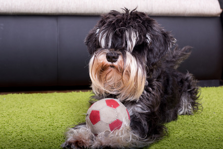 inviting: Cute Miniature Schnauzer lying on carpet with ball and inviting for a play