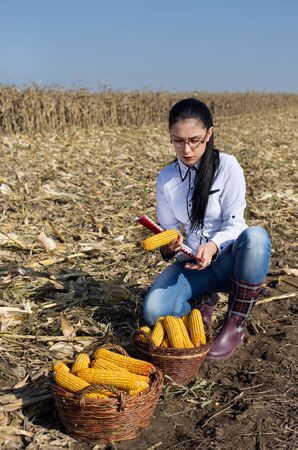 agronomist: Young woman agronomist checking corn cobs from basket on harvested corn field
