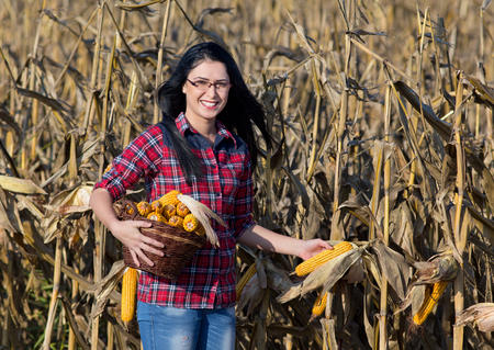 cereals holding hands: Young happy girl with basket picking corn in the field Stock Photo