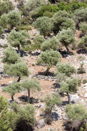 thassos: Olive groves at hilly area on Thassos, Greece