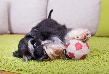 invitando: Schnauzer miniatura lindo que miente en la alfombra verde con la pelota e invitando a jugar Foto de archivo