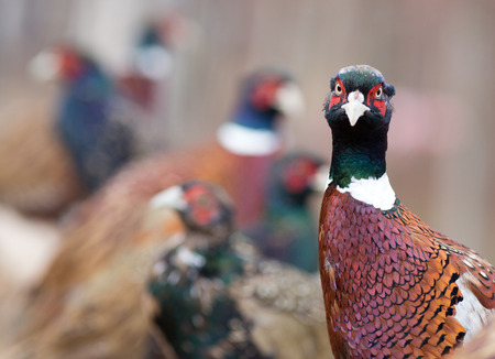 game bird: Funny pheasant portrait. Male bird looking at camera. Group of birds on the farm in background